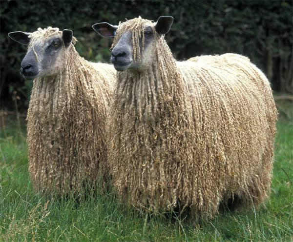 White Wensleydale Longwool breed – Picture: WLSBA/BWMB