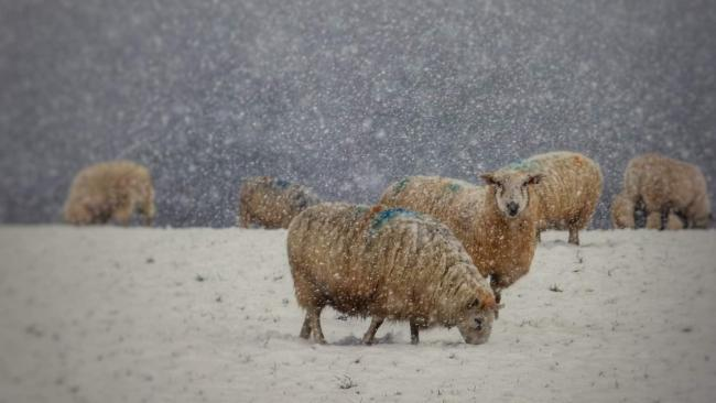 Sheep in the snow – Picture: Matthew James