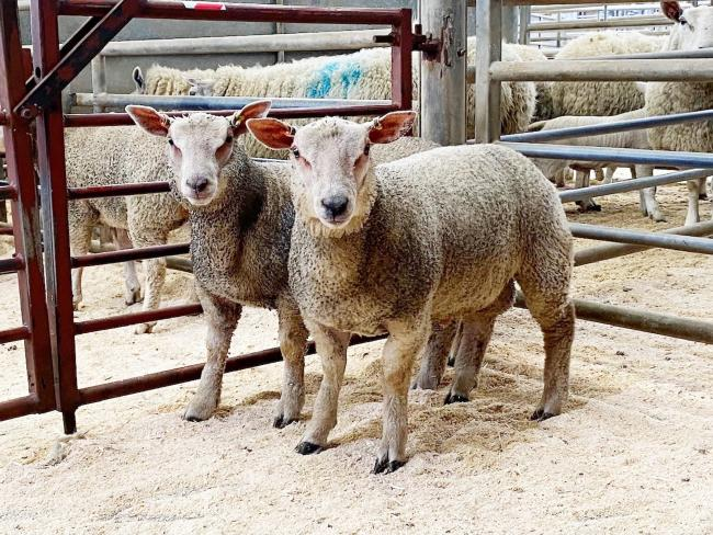 Easter Spring lamb champions at Skipton, a brace of home-bred Charollais cross, from Robert Towers of Ingleton